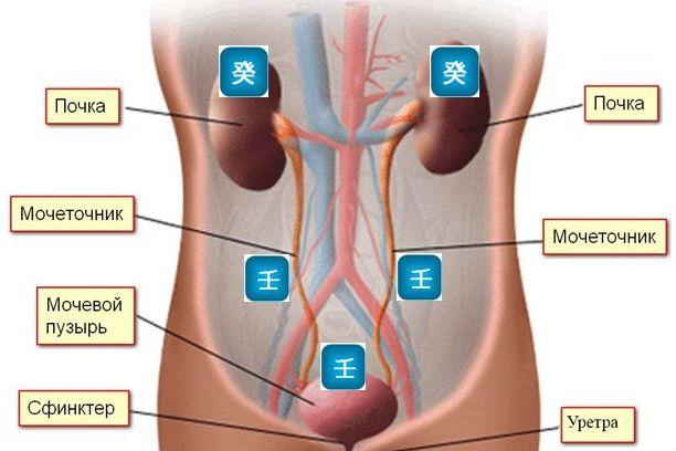 внутренние органы 2
