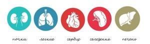 плотные органы